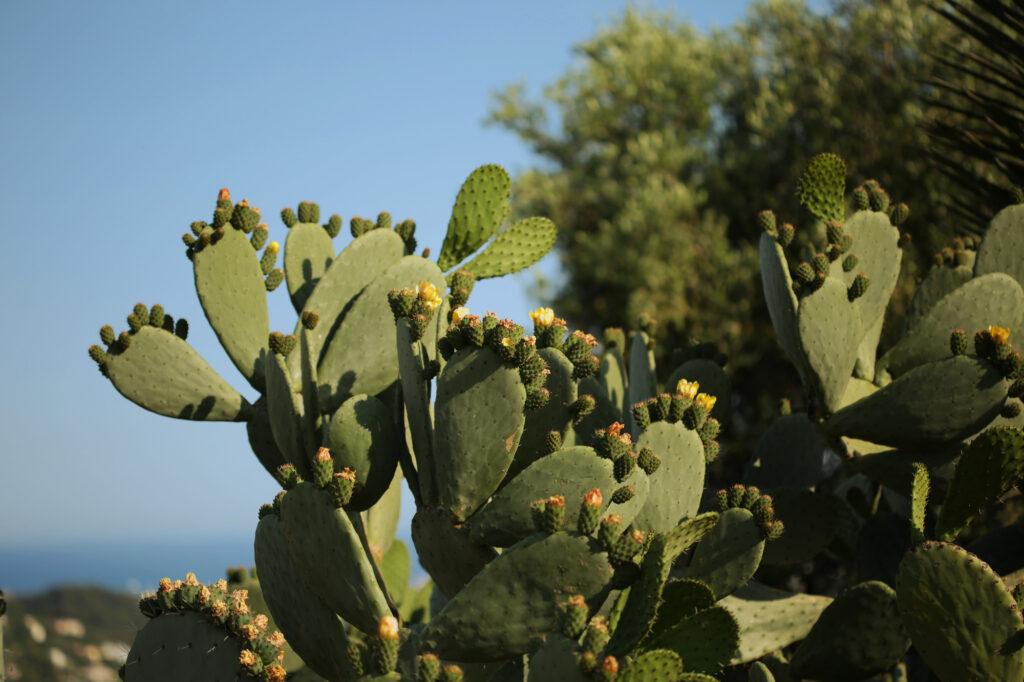 Martin Martin paysages - jardin de la Riviera-cactus
