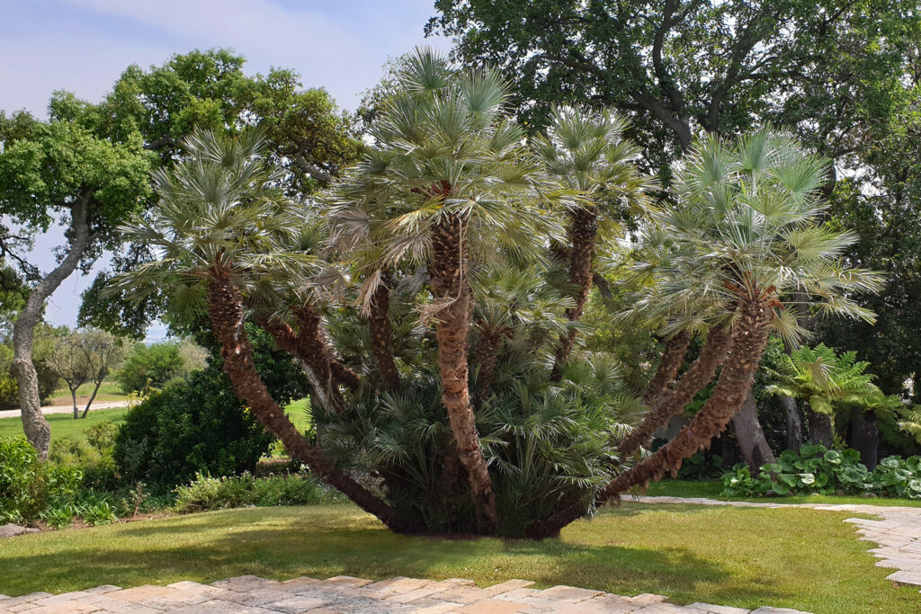 Martin Martin paysages - jardin végétal - palmier diamant